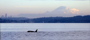 A southern resident J pod orca whale swims in Puget Sound in view of Mount Rainier and downtown Seattle. (Elaine Thompson/AP Photo)