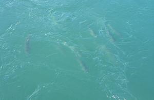 Salmon swim in Puget Sound. (Mr.E/Flickr)