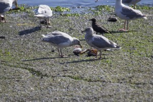 Seagulls peck at the remains of the day's catch. (Justin Steyer/KPLU)